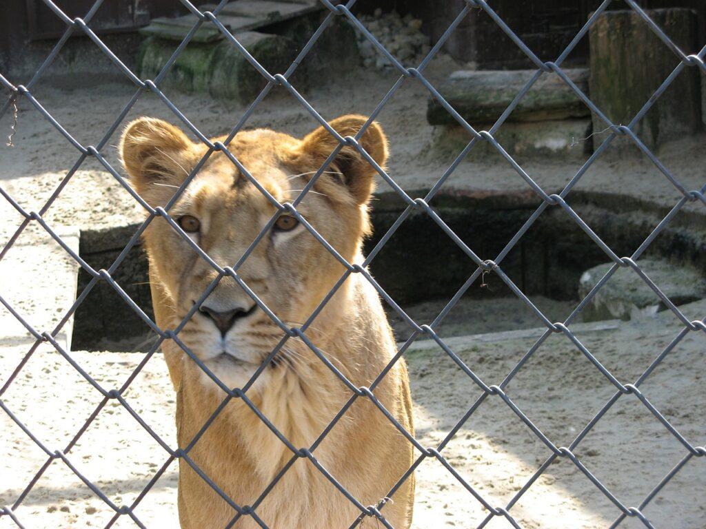 lioness-3208_1280